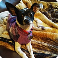 Chihuahua/Terrier (Unknown Type, Medium) Mix Dog for adoption in joliet, Illinois - Trixie