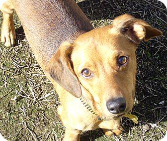Dachshund Mix Dog for adoption in San Jose, California - Dex