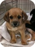 Maltese/Chihuahua Mix Puppy for adoption in Modesto, California - Prince