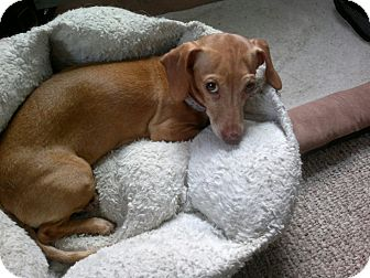 Dachshund Mix Dog for adoption in Worcester, Massachusetts - Indie