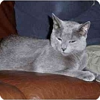 Adopt A Pet :: Pewter f/s/a Angus - Riverside, RI