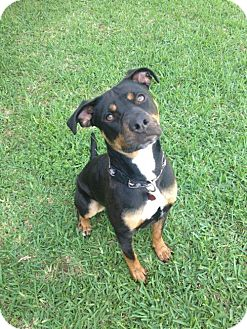 Rottweiler Mix Dog for adoption in Tomball, Texas - Spring