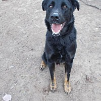 German Shepherd Dog/Labrador Retriever Mix Dog for adoption in Loganville, Georgia - Kiser
