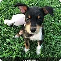 Adopt A Pet :: Jax - Knoxville, TN