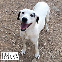 Photo 1 - Dalmatian/Shepherd (Unknown Type) Mix Puppy for adoption in Acton, California - Bella Donna