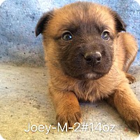 Adopt A Pet :: Joey - Buffalo, NY