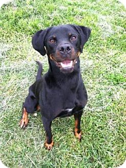 Rottweiler/Hound (Unknown Type) Mix Dog for adoption in Hendersonville, North Carolina - Zeus