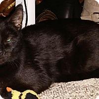 Domestic Shorthair Cat for adoption in Warwick, Rhode Island - Zelda