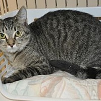Domestic Shorthair Kitten for adoption in Pompano Beach, Florida - A R 2