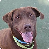 Adopt A Pet :: *HERSHEY - Las Vegas, NV