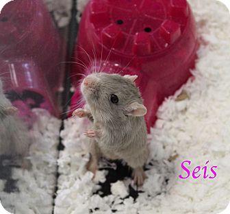 Gerbil for adoption in Bradenton, Florida - Seis