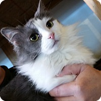 Domestic Longhair Cat for adoption in St. Louis, Missouri - Cherokee