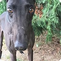 Adopt A Pet :: Stretch - Swanzey, NH