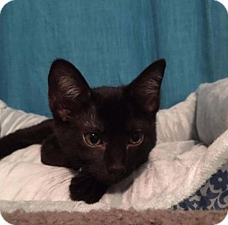 Domestic Shorthair Kitten for adoption in Fenton, Missouri - Kendra