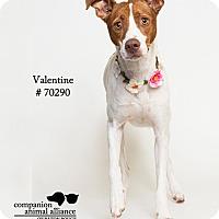 Pointer/Terrier (Unknown Type, Medium) Mix Dog for adoption in Baton Rouge, Louisiana - Valentine