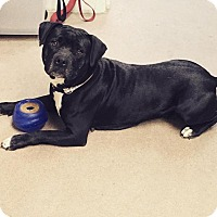 American Staffordshire Terrier Mix Dog for adoption in Warren, Michigan - Faith at Madison Hts