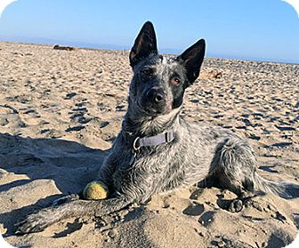 Australian Cattle Dog Dog for adoption in Paso Robles, California - Tom