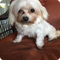 Adopt A Pet :: Gigi - La Verne, CA