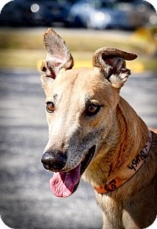 Greyhound Dog for adoption in Sarasota, Florida - Oshkosh Keystone