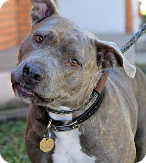 American Bulldog/American Staffordshire Terrier Mix Dog for adoption in Des Moines, Iowa - Stella