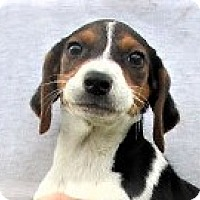 Adopt A Pet :: Cappy - Germantown, MD