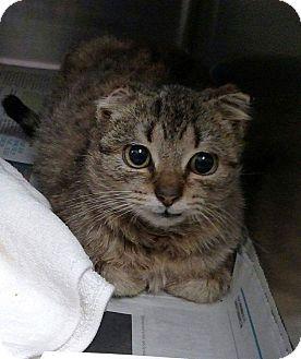 Domestic Shorthair Kitten for adoption in Charlotte, North Carolina - Reid