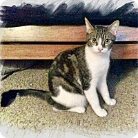 Domestic Shorthair Kitten for adoption in Yuba City, California - Winston