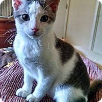 Adopt A Pet :: Han - New Milford, CT