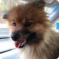 Adopt A Pet :: Shiah - Harrisonburg, VA