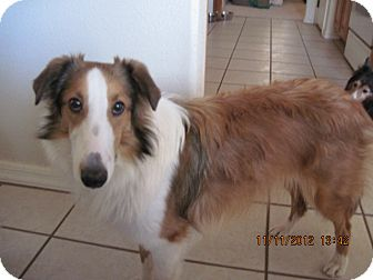 Sheltie, Shetland Sheepdog Puppy for adoption in apache junction, Arizona - Scooby