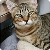 Domestic Shorthair Cat for adoption in Dallas, Texas - JASPER