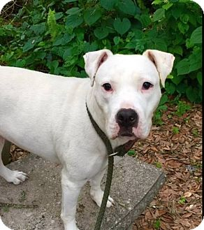 American Pit Bull Terrier Mix Dog for adoption in Saint Augustine, Florida - Zoe