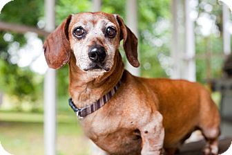 Dachshund Mix Dog for adoption in Barium Springs, North Carolina - OLIVER