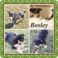 Adopt A Pet :: Bosley in CT - East Hartford, CT