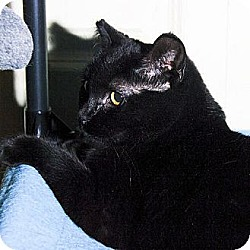 Photo 3 - Domestic Shorthair Cat for adoption in Whitewater, Wisconsin - Ebony