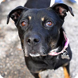 Rottweiler/Shepherd (Unknown Type) Mix Dog for adoption in Detroit, Michigan - Talia - Foster Needed