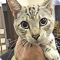 Adopt A Pet :: Snowbell - Forest Hills, NY