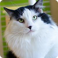 Adopt A Pet :: Cowboy - Peacedale, RI