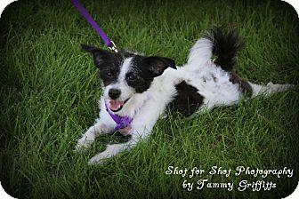 Terrier (Unknown Type, Small) Mix Dog for adoption in Lodi, California - Patches