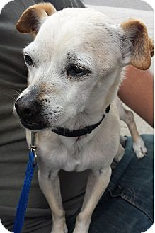 Chihuahua Mix Dog for adoption in Torrance, California - Thurston