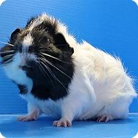 Adopt A Pet :: Neville - Lewisville, TX