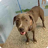 Pit Bull Terrier Mix Dog for adoption in San Bernardino, California - URGENT on 7/23 SAN BERNARDINO