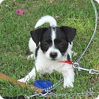 Adopt A Pet :: SHAD - Bedminster, NJ
