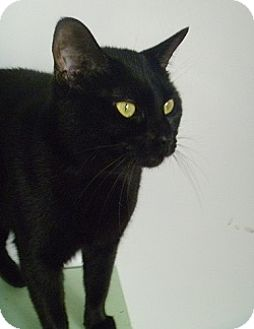 Domestic Shorthair Cat for adoption in Hamburg, New York - Sabrina