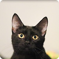 Domestic Shorthair Kitten for adoption in Lincoln, Nebraska - Garcia