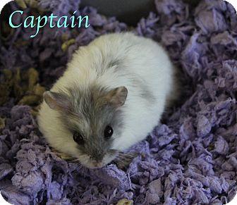 Hamster for adoption in Bradenton, Florida - Captain