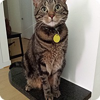 Domestic Shorthair Cat for adoption in Baltimore, Maryland - Leo & Joe (COURTESY POST)