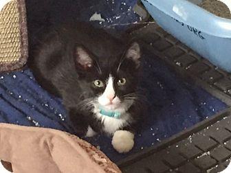 Domestic Shorthair Kitten for adoption in Colorado Springs, Colorado - Simpson