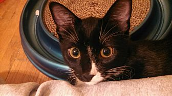 Domestic Shorthair Kitten for adoption in St Paul, Minnesota - Maggie
