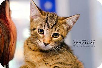 Domestic Shorthair Cat for adoption in Edwardsville, Illinois - Glenn